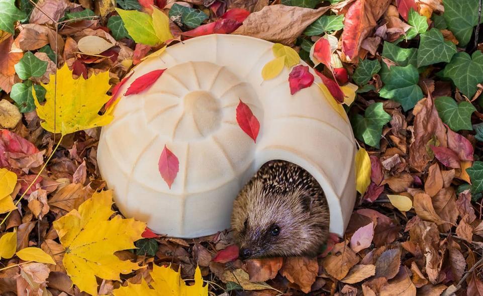 Hedgehog Snail-Shell